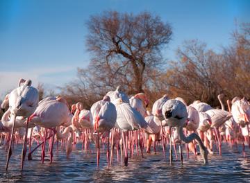 Venez observez les flamants rose de l'Hérault